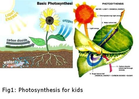 chloroplast diagram clipart best