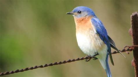 file eastern bluebird 8434313362 jpg wikimedia commons