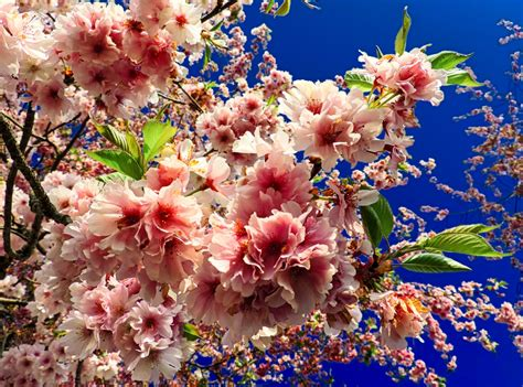 alberi con fiori rosa ste artistiche quadri e poster con alberi fiore
