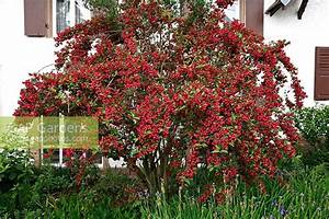Weigela Bristol Ruby : gap gardens weigela 39 bristol ruby 39 image no 0176906 ~ Michelbontemps.com Haus und Dekorationen