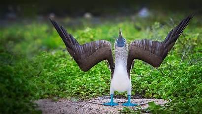 Footed Bing Display Booby Courtship Ecuador Islands