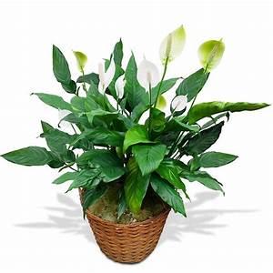 Plante Fleurie Intérieur : plantes vertes avec fleurs blanches photos de magnolisafleur ~ Premium-room.com Idées de Décoration