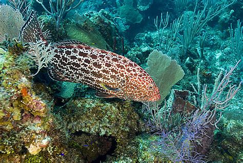grouper yellowfin cayman turtle wall