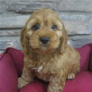 Poodle Cocker Spaniel Puppies Pictures to Pin on Pinterest ...