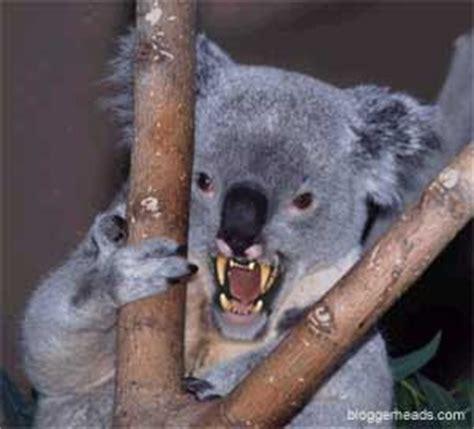 angry koala bear
