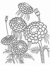 Coloring Flower Pages Marigold Marigolds Flowers Printable 1000px 85kb sketch template