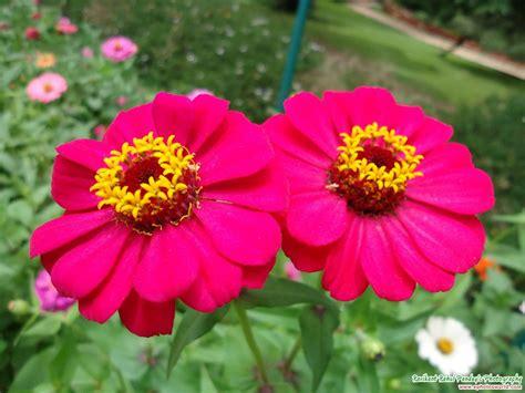 zinnia flower pictures pink zinnia flower ms