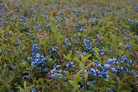 Heidelbeere Im Garten Pflanzen by Heidelbeeren 187 Diesen Standort Haben Sie Am Liebsten
