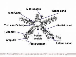 Echinodermata - Skeletal System
