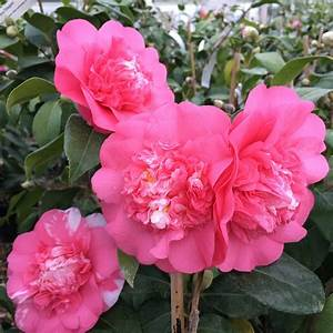 Camellia Japonica Winterhart : buy camellia camellia japonica elegans delivery by crocus ~ Eleganceandgraceweddings.com Haus und Dekorationen