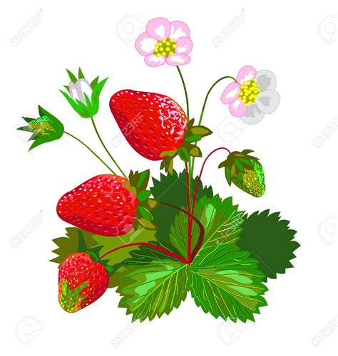 strawberry vine clipart    clipartmag
