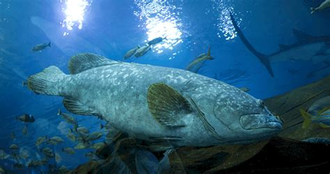 grouper gag season wakulla county seasons hunting fishing