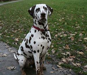 Dalmatian Dogs| Dalmatian Dog Breed Info & Pictures | petMD