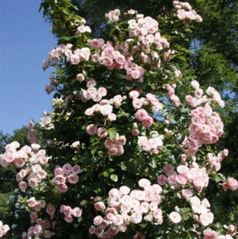 Rosenversand Mini Eden Rose Kletterrose