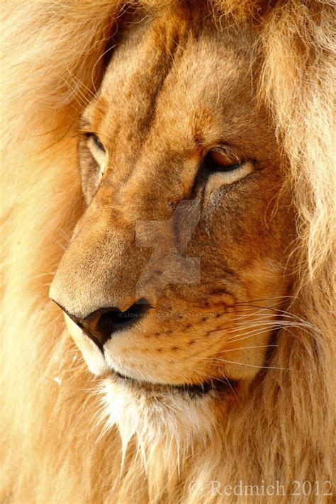 Toughtful Lion Redmich Deviantart