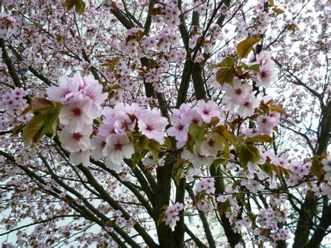 Japanischer Garten Düsseldorf Kirschblüte by Bentown Fr 252 Hlingsimpressionen Aus D 252 Sseldorf