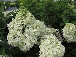 Hydrangea Paniculata Bobo : bobo hardy hydrangea ~ Michelbontemps.com Haus und Dekorationen