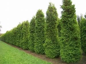 Thuja Brabant Oder Smaragd : thuja brabant lebensbaum 160 180cm heckenpflanzen heijnen ~ Orissabook.com Haus und Dekorationen