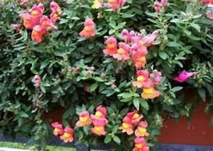 Blumen Für Schatten : die begonie eine universelle balkonblume sommerblume ~ Lizthompson.info Haus und Dekorationen