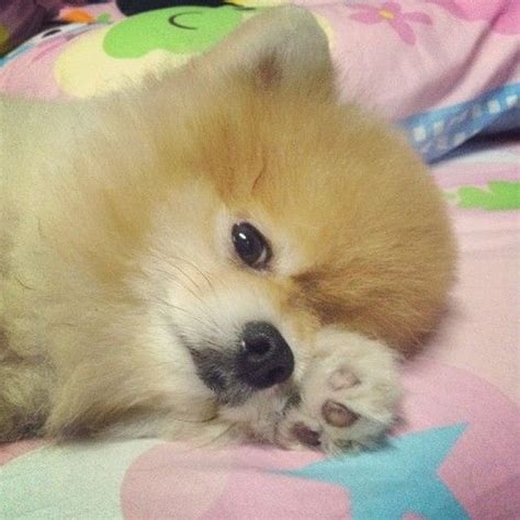 17 best images about pomeranian pictures on