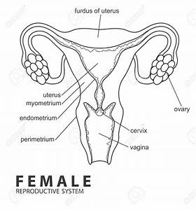 Diagram Of The Female Reproductive System In Humans ...