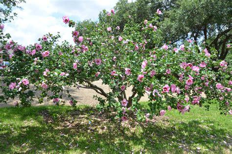 Texas Lilac Vitex Tree  Lee Ann Torrans Gardening
