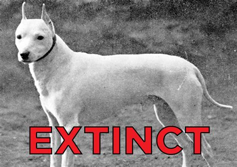 extinct dog breeds   goodest boyes  yesteryear