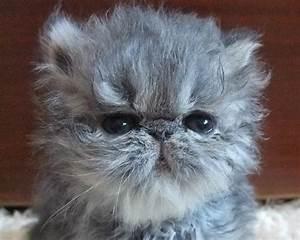 Lavender Persian Cat - Bing images