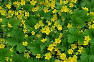 Best perennial flower identification ideas and images on bing yellow perennial plant identification mightylinksfo