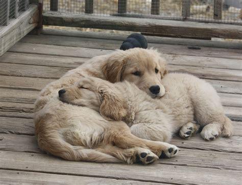 Harborview Golden Retrievers Golden Retrievers Puppies