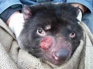 Conservation Ecology: Evolution of the Devil Facial Tumor ...