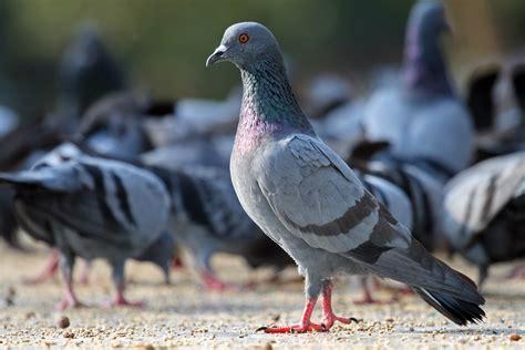 defense des pigeons association stephane lamart