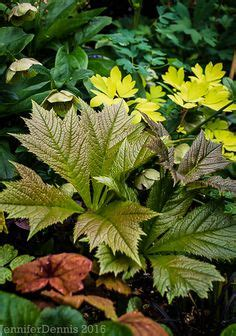 Ta Da Best Actor Winner Oscars Perennials by Visions Astilbe Looking Glass Brunnera And Royal