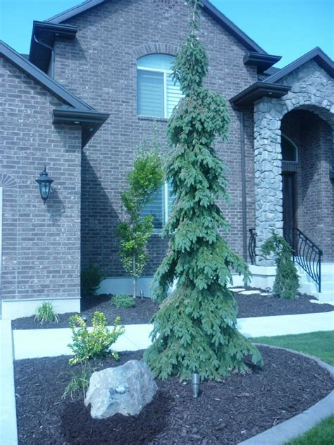 weeping white spruce trees utah  pictures