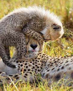 Baby Animal Photography BABY CHEETAH PLAYING by ...