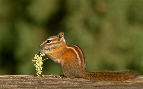 Forest Animal Wallpaper - forest animals wallpaper chipmunk 1280x800