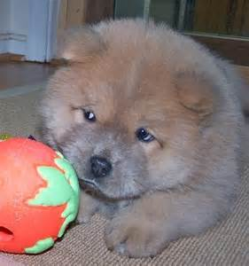 Baby Chow Chow Puppies