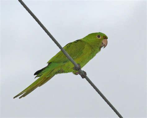 green parakeet photos birdspix