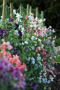 Kletterpflanzen Für Balkon : duftwicke als sichtschutz f r den balkon living pinterest garten garten pflanzen und ~ Buech-reservation.com Haus und Dekorationen