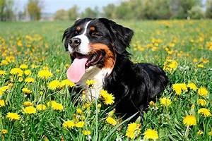 Berner Sennenhund Gewicht : berner sennenhund alle infos zur rasse ~ Markanthonyermac.com Haus und Dekorationen