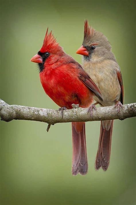 spotted northern cardinal couple birds of massachusetts
