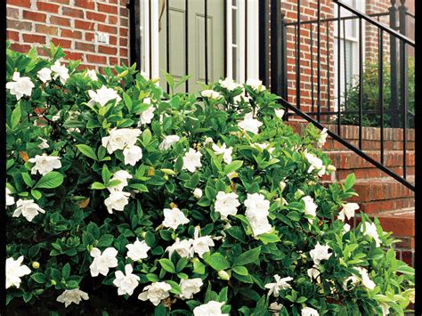 complete guide  gardenias southern living
