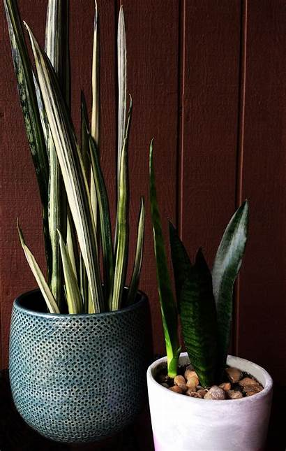Snake Plant Sansevieria Plants Indoor Caring Care