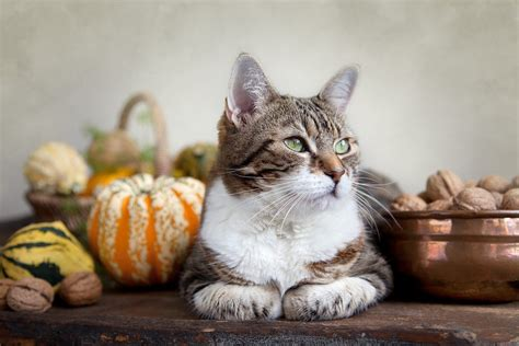 thanksgiving cat thanksgiving foods pets can eat and ones to avoid
