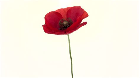 poppy bloom time red poppy flower blooming in time lapse on a white background time lapse high speed camera