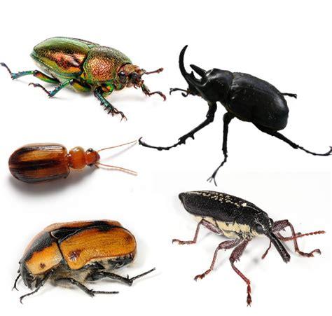 weevil bug beetle wikipedia