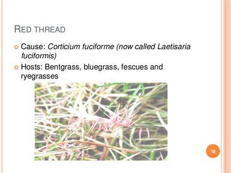 grass diseases control symptoms turf thread cause
