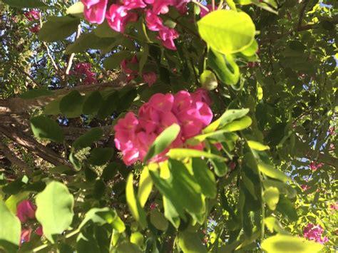 alberi con fiori rosa la finestra di stefania alberi cespugli e gruppi di piante