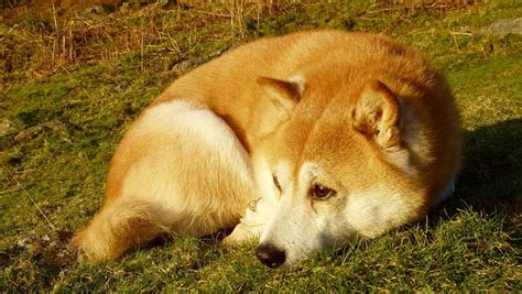 Do Shibas Shed A Lot by Shiba Inu News Stories Pictures Products Shiba Inus Home