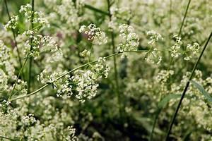 Schleierkraut Im Topf : schleierkraut pflanzen das wichtigste von a bis z ~ Watch28wear.com Haus und Dekorationen